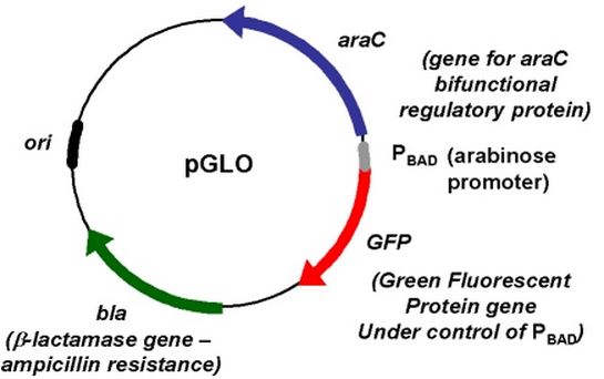 e coli genetic transformation with pglo plasmid essay